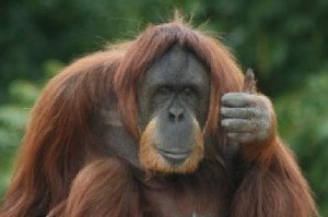 Ape showing thumbs up
