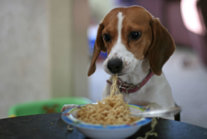 dog eat noodles