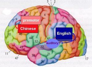 chinese brain